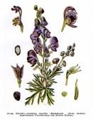 Aconitum_napellus-6