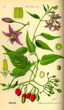 Illustration_Solanum_dulcamara0