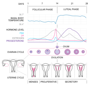 430x420x430px-MenstrualCycle2_en_svg.png.pagespeed.ic.JGqsbIcDRf