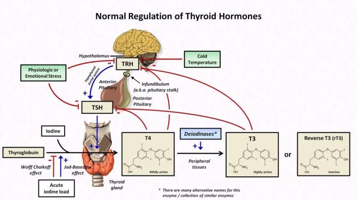 hormoni t